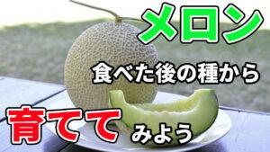 食べたメロンの種からメロンを育ててみよう! ~家庭菜園の楽しみ方~